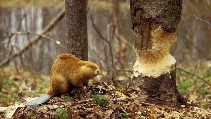 Бобровая Плотина Док Фильм National Geographic Канадский бобр