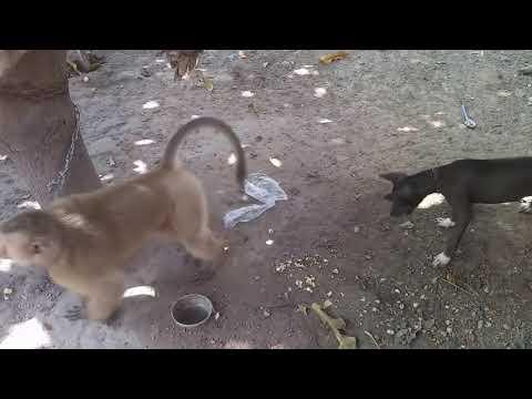 CANI SIKILAN MAYMUN KÖPEĞE DALAŞIYOR - Psikopat Maymun - Monkey vs Dog
