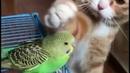 Кот гладит волнистого попугая