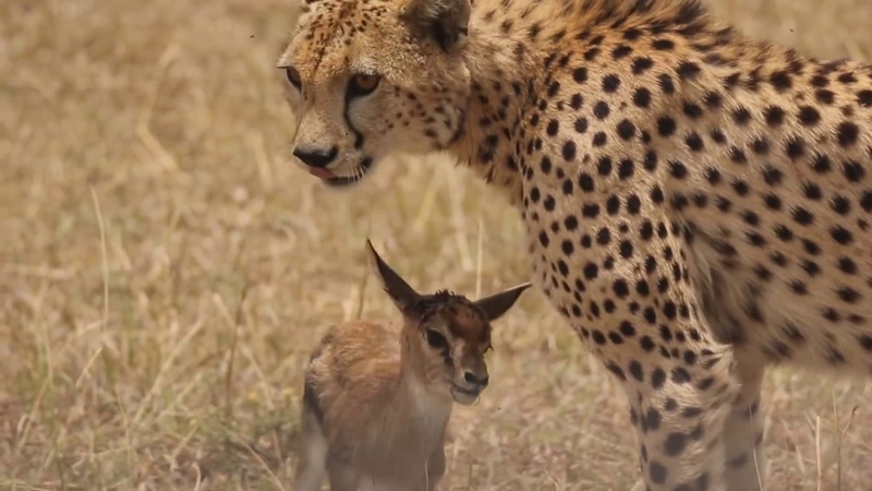 Shaky Video Cheetah playing with baby gazelle before eating it