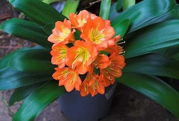 Кливия киноварная Кливии киноварные - многолетние бесстеблевые цветущие комнатные растения с массивным корневищем. Листья кливии киноварной: длиной 30 50 см, длинные, ремневидные, жесткие,