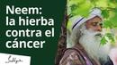 Neem: la hierba contra el cáncer | Sadhguru