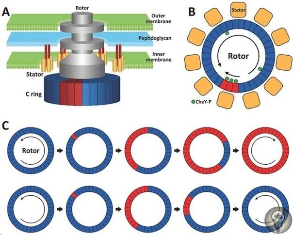 Нанодвигатель: как работает мотор, созданный бактериями Ротор, статор, тормоз и трансмиссия: как работает клеточный двигатель, изобретенный бактериями миллиарды лет до первого автомобиля,