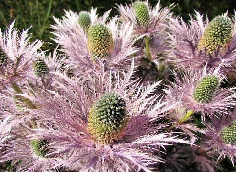Синеголовник Род синеголовника или эрингиума (Eryngium) насчитывает около 230 видов многолетних растений, произрастающих в регионах тропических, субтропических и умеренных широт. Некоторые