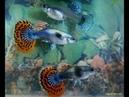 Гуппи Дамбо (Слоновьи Уши) Мозаика, самцы и самки