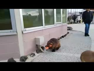 В одном из японских зоопарков засняли слишком запасливого бобра