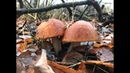 ПОДОСИНОВИКИ В НОЯБРЕ В БЕЗЛИСТВЕННОМ ЛЕСУ На деревьях распускаются почки а грибы идут Грибы 2019