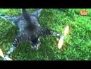 Хозяин превратил умершего кота в вертолет.mp4