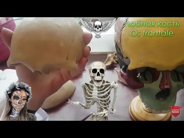 Лобная кость os frontale Анатомия