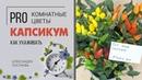 Перец - какие виды выращивают дома, почему его называют капсикум и можно ли его есть?