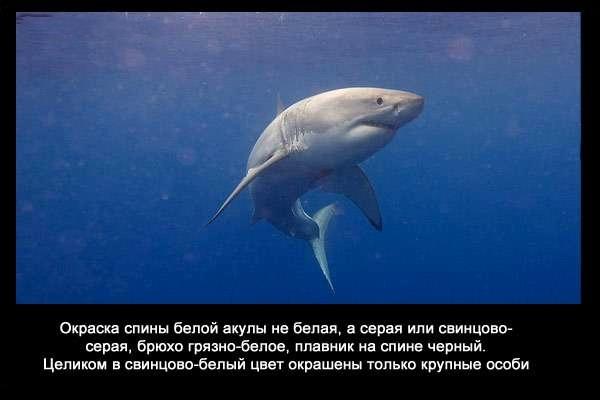 валтея - Интересные факты о акулах / Хищники морей.(Видео. Фото) 3USasSZKvzk