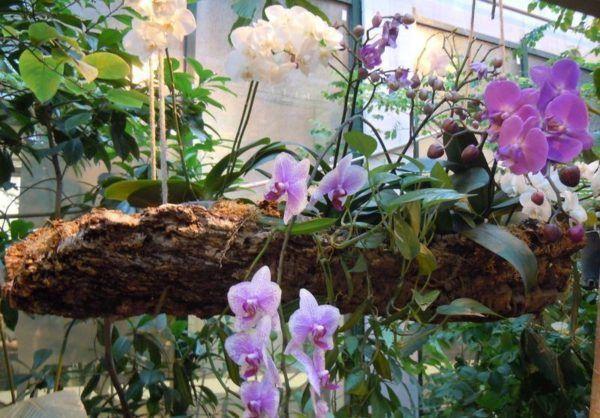 В естественный условиях орхидея приспособлена выживать в тропиках без почвы.