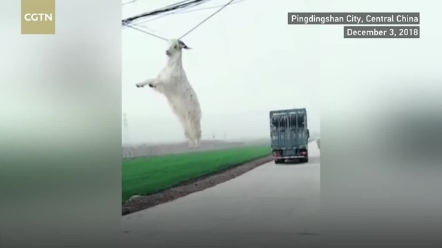New Specie Discovered The Powerline Goat · coub коуб