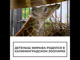 В зоопарке Калининграда появился на свет детеныш жирафа