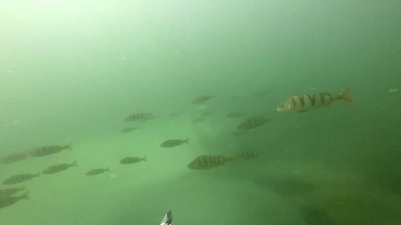оз.Акуля подводная сьемкащука.окунь карпрыбалка под водой
