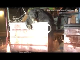 California deputies rescue bear trapped in dumpster