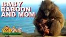 Бабуиненок со своей мамой-бабуинкой около Мыса доброй надежды. (Baby Baboon with Mom at Cape the Good Hope)