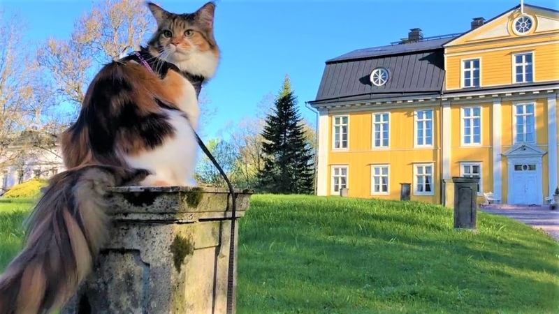 Maine Coon Cat: Relaxing Morning In a Historical Garden