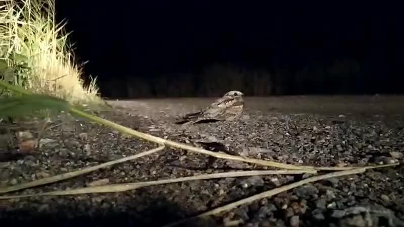 Птица козодой в ночи Котлин