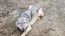 Спасение диких животных из браконьерских ловушек
