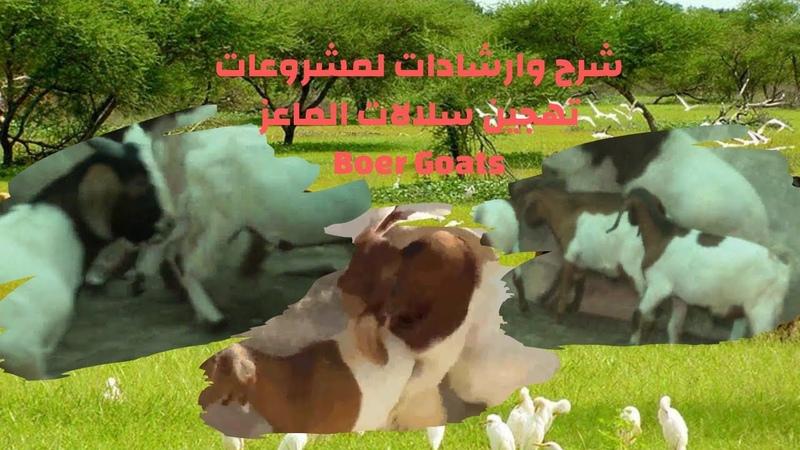 شرح وارشادات لمشروعات تهجين سلالات الماعزBoer Goats