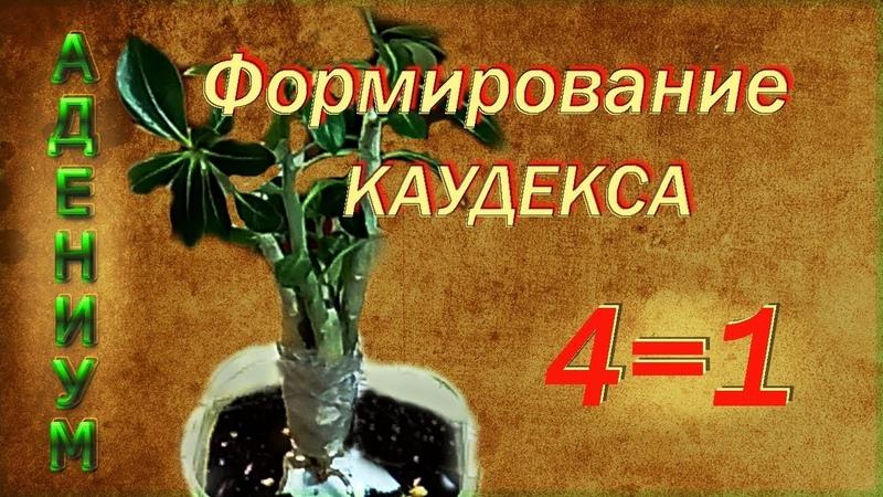 Адениум Формирование каудекса 4=1