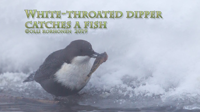 White Throated Dipper Оляпка ест рыбу