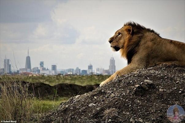 Величественные и опасные, цари зверей поражают своей красотой!