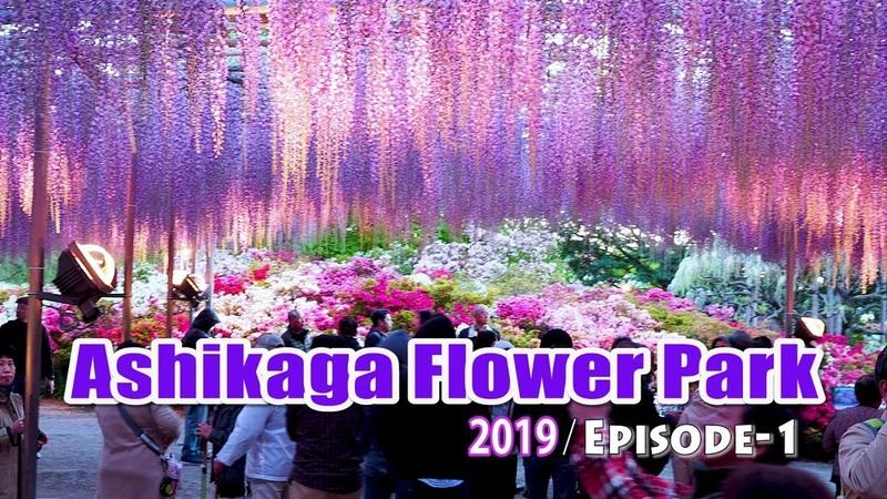 Ashikaga Flower Park at Night あしかがフラワーパーク. Wisteria Festival 2019. Episode-1 4K 大藤