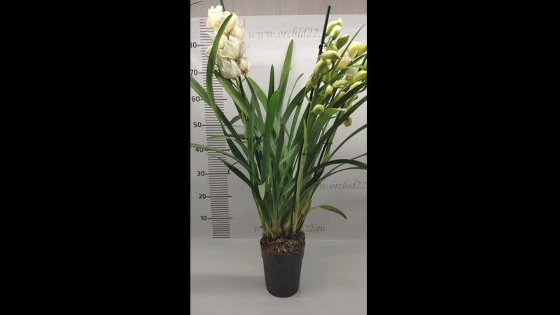Орхидея Cymbidium