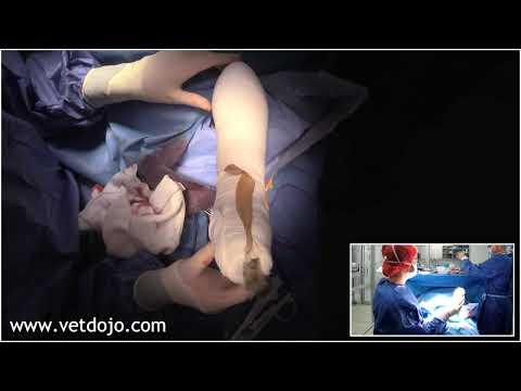 Удаление саркомы мягких тканей в области предплечья у собаки Antebrachial soft tissue sarcoma removal in a dog