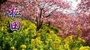 KANAGAWA【Cherry blossoms】Matsuda Cherry Blossom Festival 2020 まつだ桜まつり #河津桜 4K
