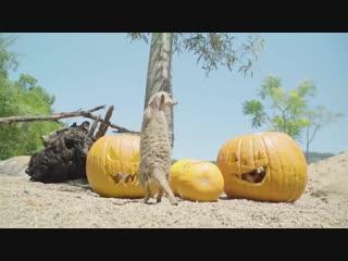 Australiazoo family is celebrating with their very own spooky jack-o-lanterns