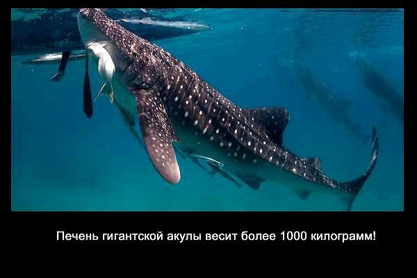 валтея - Интересные факты о акулах / Хищники морей.(Видео. Фото) GA5yS-glZe4
