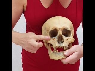 Анатомия человека. Кости черепа. Массаж лица. Миофасциальный массаж