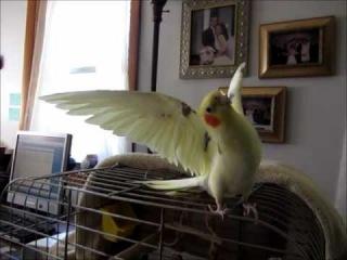 Cockatiel Does BIG EAGLE Trick
