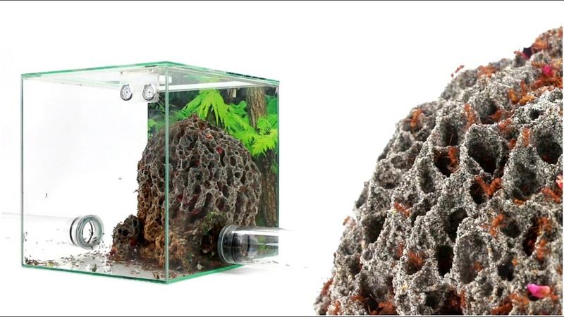 ANTCUBE Acromyrmex octospinosus Kolonie - Starter Set für Blattschneiderarten - groß - Instumental