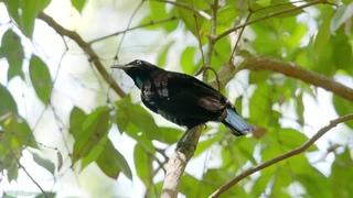 «Дикие птицы Австралии (4). Подготовка гнезда» (Познавательный, природа, орнитология, животные, 2016)