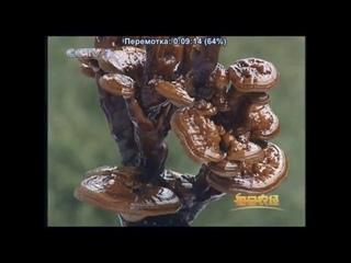 🌿🍀🍃 Уникальный гриб долголетия - Ганодерма ''ЛинЧжи'' (линьчжи, лин-чжи), или Трутовик лакированный - гриб бессмертия!