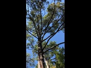 Сосна в Ботаническом саду г. Сухум