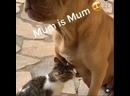 собака кормит котёнка молоком ☆☆☆ПИТБУЛИ,СТАФФЫ☆☆☆