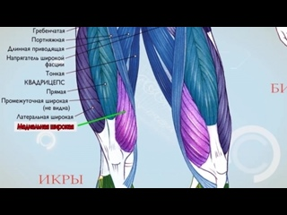 SLs Анатомия. Экскурс по основным мышцам человека