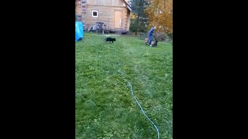 Видео от GROSS ERFOLG питомник немецких овчарок