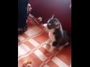 Подарили деду собаку Поющий хаски i7Nm77__cpg