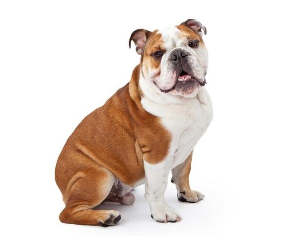 10 самых глупых пород собак Канадский психолог Стэнли Корен при помощи сотен дрессировщиков и ветеринаров разработал специальный собачий IQ-тест, который позволил бы определить насколько умен
