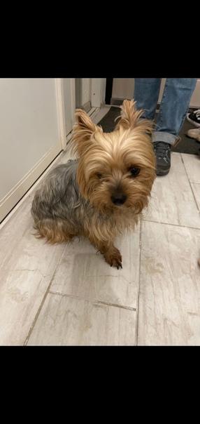 Потерялась собака йоркширский терьер район 8 марта...