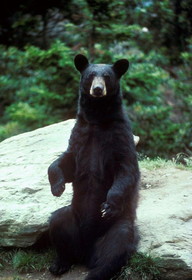 Барибал, или чёрный медведь (Ursus americanus) — млекопитающ...