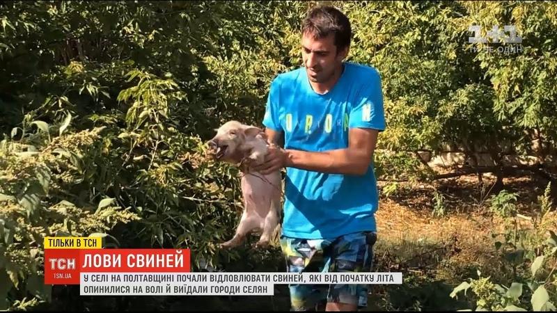 У селі на Полтавщині почали відлов свиней які від початку літа опинилися на волі