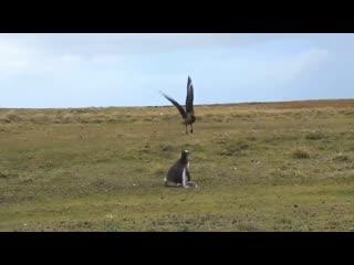 Мама-пингвин защищает своего детёныша от поморников